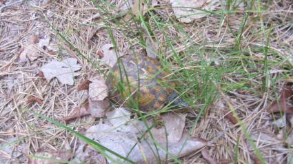 box turtle on short walk